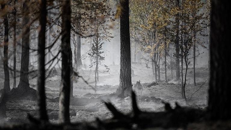 Brandområdet vid Älvdalens skjutfält (Trängslet). Arkivbild.