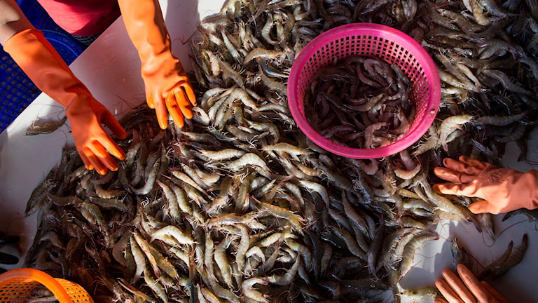 Thailänska arbetare rensar räkor. Arkivbild.