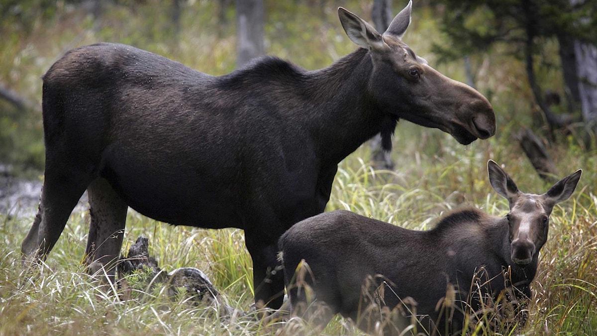 Den långa jaktsäsongen kan göra älgarna stressade. Foto: TT.