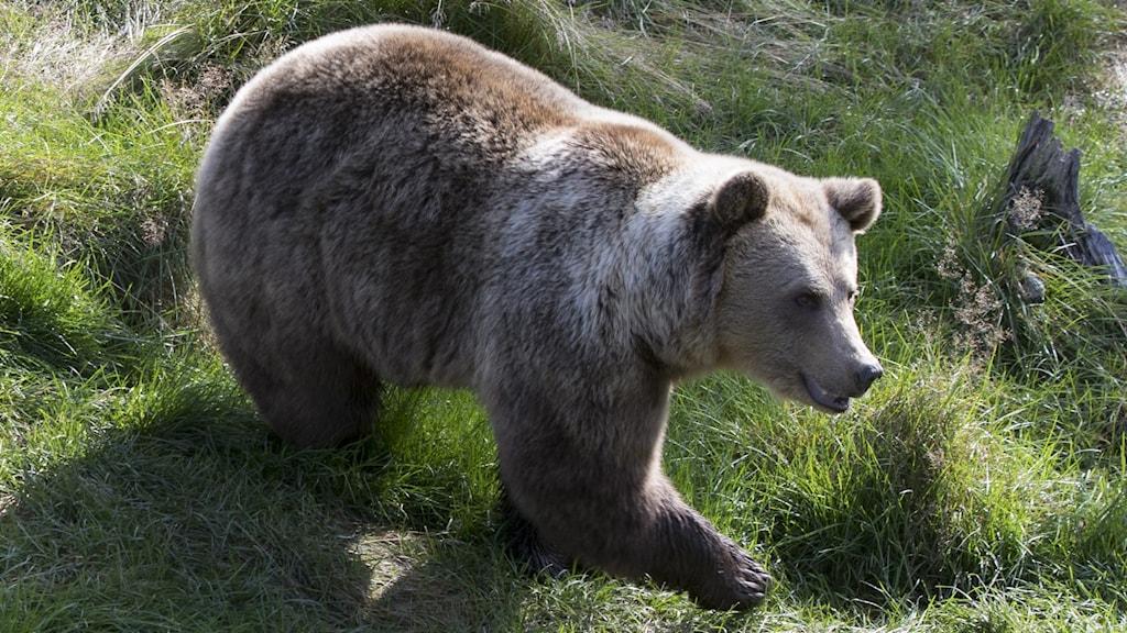 Brunbjörn.