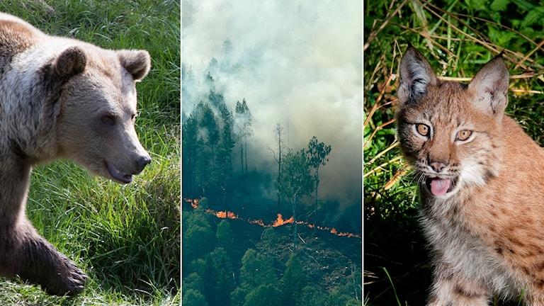 Tredelad bild: Brunbjörn, flygbild över skogsbrand, järv.
