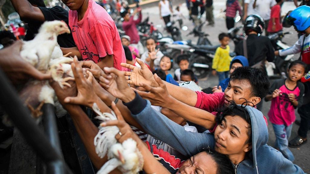 Människor sträcker ut sina armar för att få tag på levande kycklingar som delas ut.