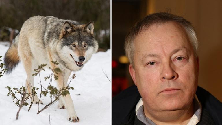 Delad bild: varg och åklagare