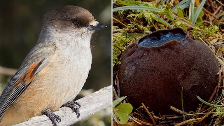 Delad bild: fågel och en svamp.