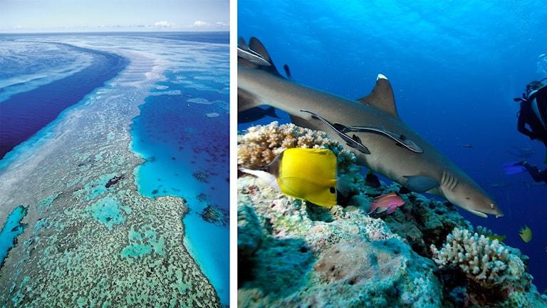 Stora barriärrevet sett från ovan samt fiskar och koraller i närbild. En tredjedel av världens korallrev är hotade. Foto: TT.