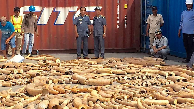 Ett stort beslag elefantbetar har gjorts i Phnom Penh i Kambodja.