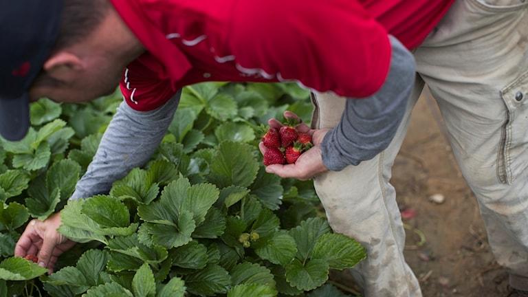 jordgubbar, sabotage