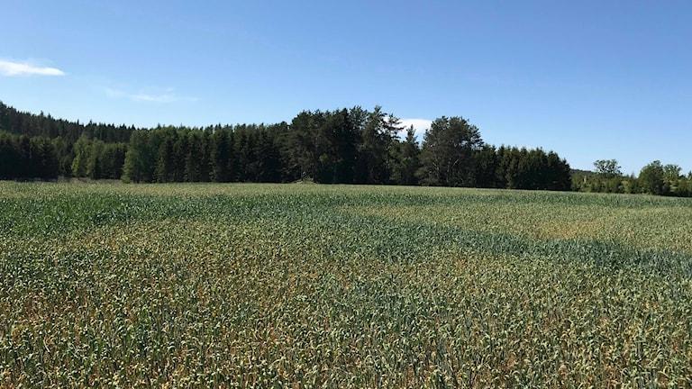 Höstvetefält med gula fläckar av torkan.