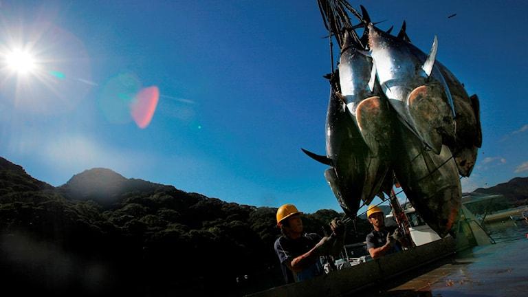 Tonfisk fångad utanför Japan lastas av en fiskbåt.
