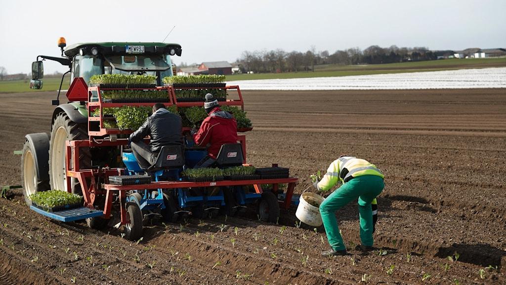 Plantering av spenat och andra grönsaker hos Bjud grönsaker utanför skånska Vellinge.