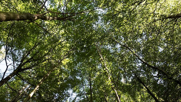 Bokträd.