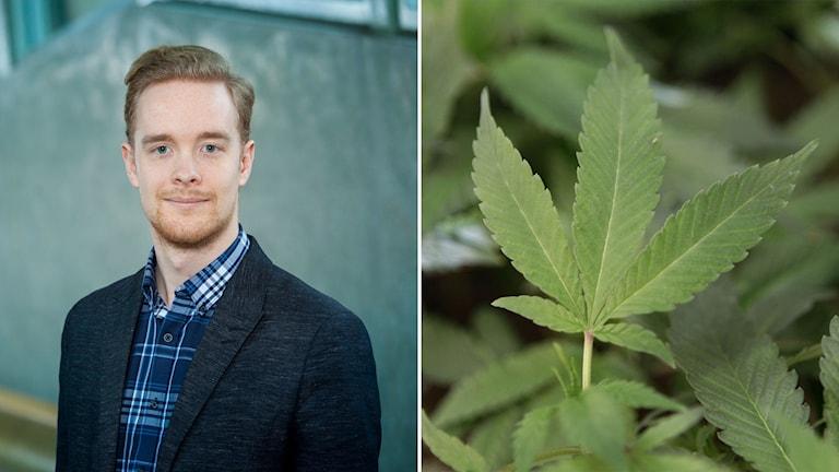 Miljöpartiets Anders Schröder och en bild på en marijuanaplanta.
