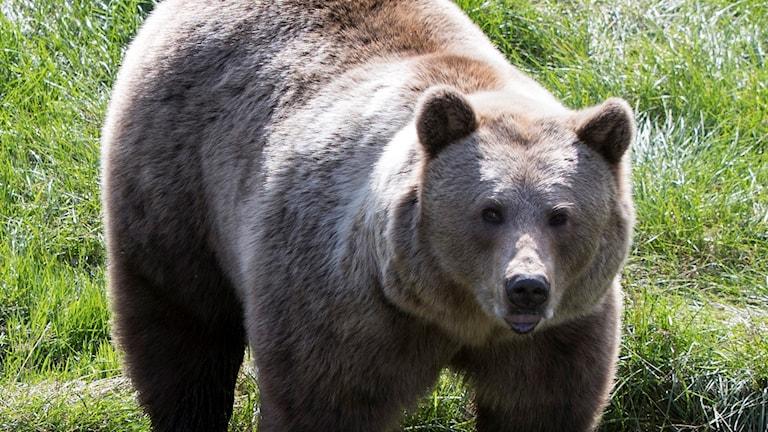 brunbjörn, björn