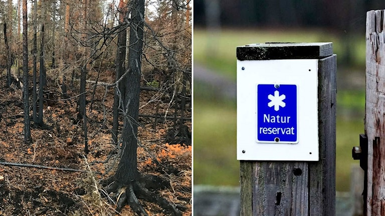 """Ett montage av brandskadad skog från sommarens bränder och en blå skylt som säger """"Naturreservat""""."""