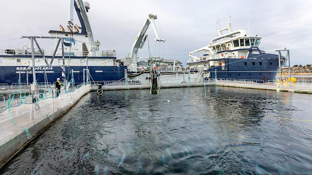Norsk laxodling och båtar
