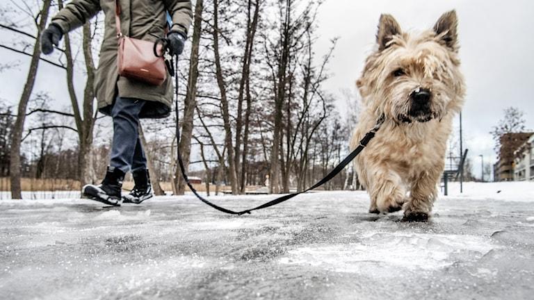 En matte på promenad med sin hund på ett isigt stråk.