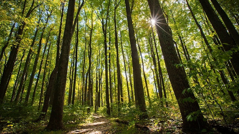 En skog av poppel. När det gäller trädplantering ur ett politiskt perspektiv har poppel varit särskilt populär eftersom den kan öka flera meter under en tjänstemans femårsperiod.