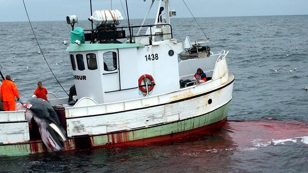 Fiskebåt som dödat en val.