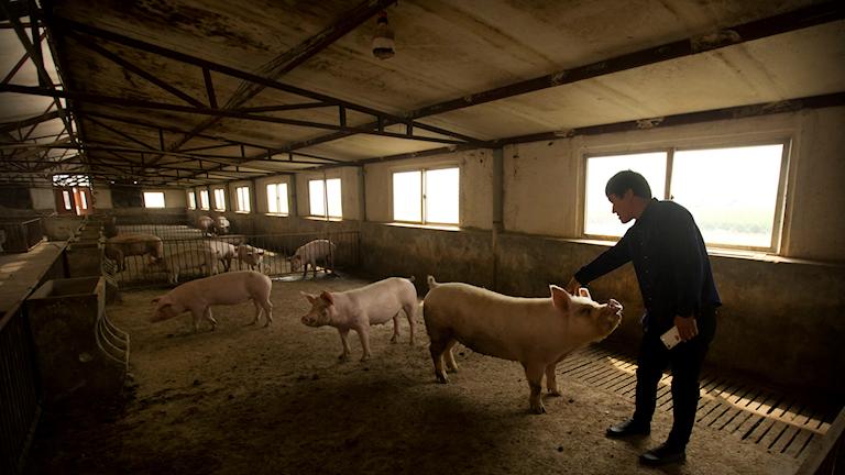 En grisbonde hälsar på en av få kvarvarande grisar på en farm i Kina.