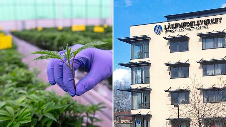 Delad bild: cannabisplanta skördas i växthus, läkemedelsverkets huvudkontor.