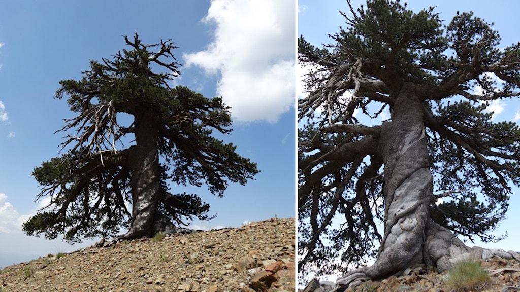 Tallen är just det äldsta kända levande trädet i Europa.