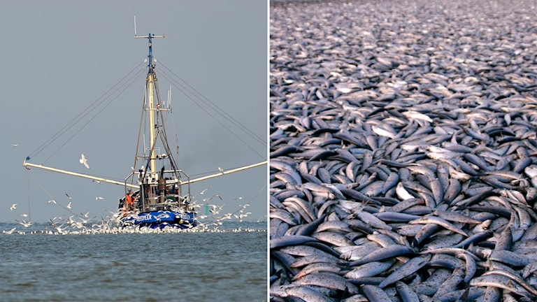 Delad bild: En fiskebåt, och döda sillar.