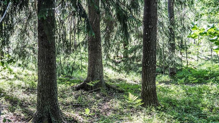 Trädstammar i en svensk skog
