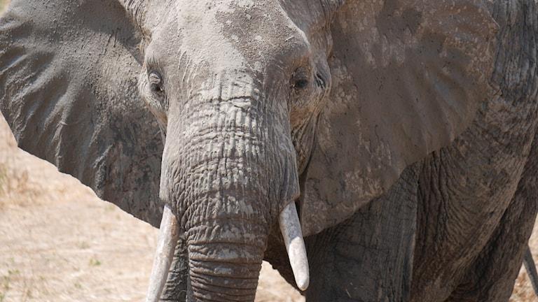 Elefant i Ruaha nationalpark, Tanzania.