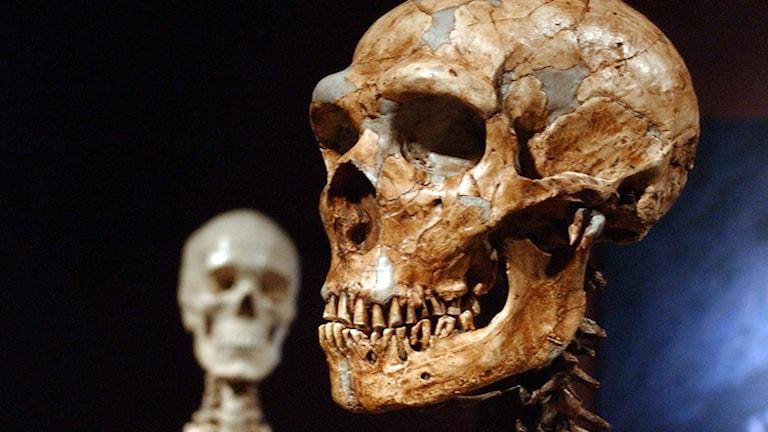 Skelett av Homo sapiens och neandertalare