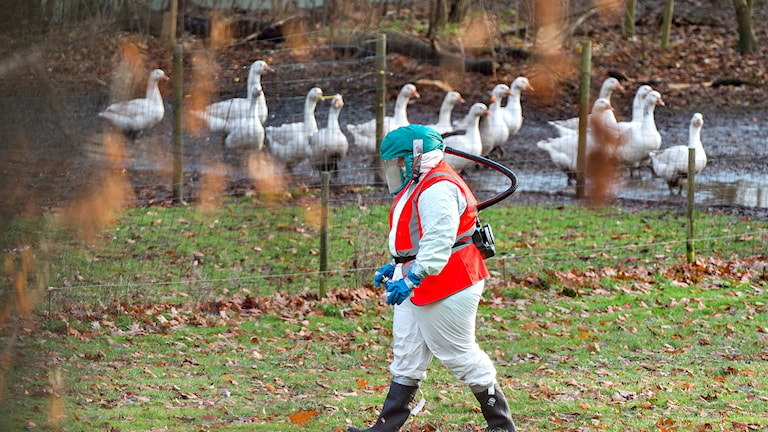 Sanering efter utbrottet av fågelinfluensan på en gård i Danmark.
