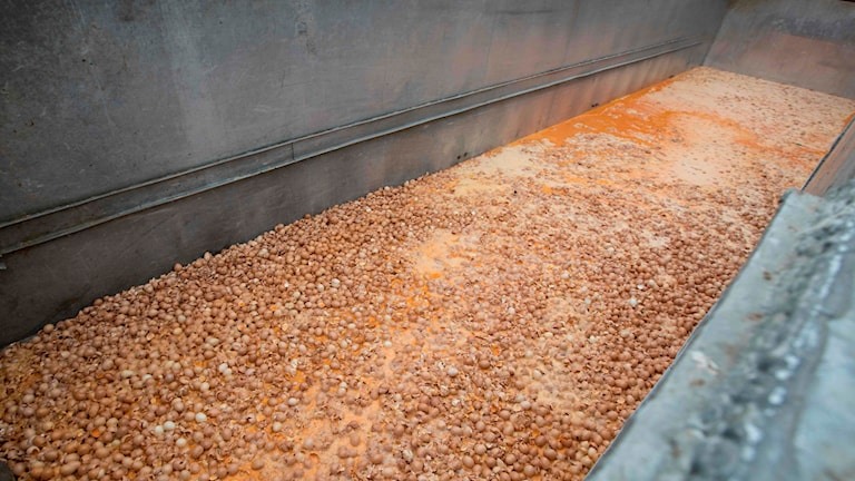 The contaminated eggs have mostly been found in Netherlands and Belgium.