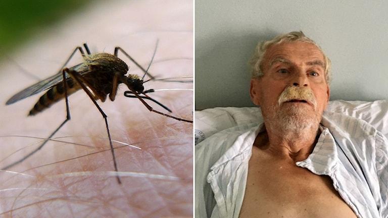 West Nile-virus, epidemi, myggor, överlevare