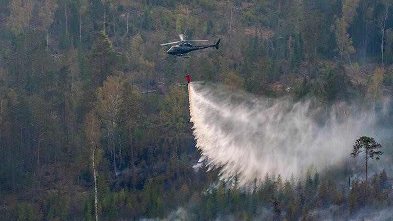 En brandhelikopter som släpper ut vatten i skogen.