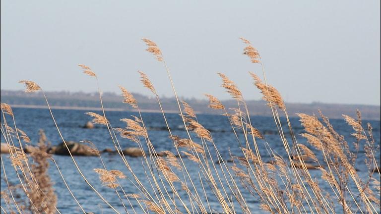 Vasstrån vid kusten. Arkivfoto: Nick Näslund/Sveriges Radio