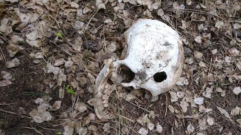skelett kranium laboratorieholmen