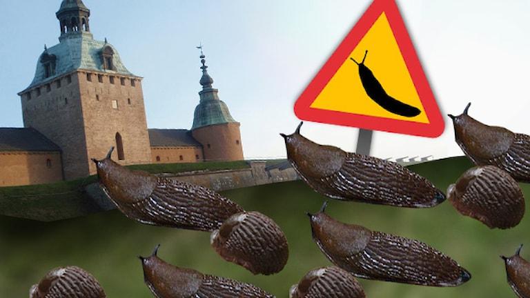 Snigelinvasion. Illustration/montage: Nick Näslund. Foto: Sveriges Radio