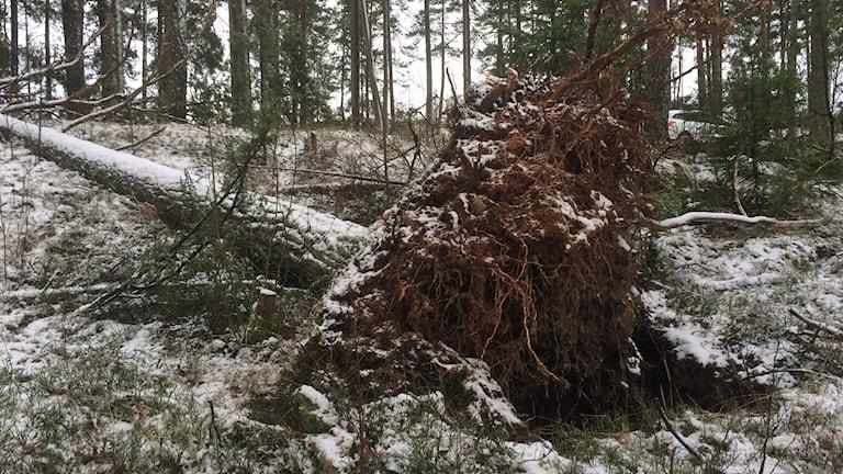 Stormen Egon välte träd.