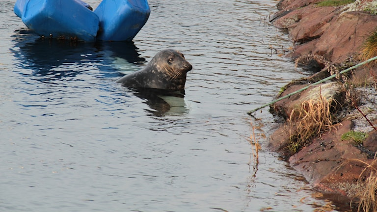 Sälen Torsten har simmat runt i bassängen i nästan tre månader. Foto: Leif Johansson/Sveriges Radio