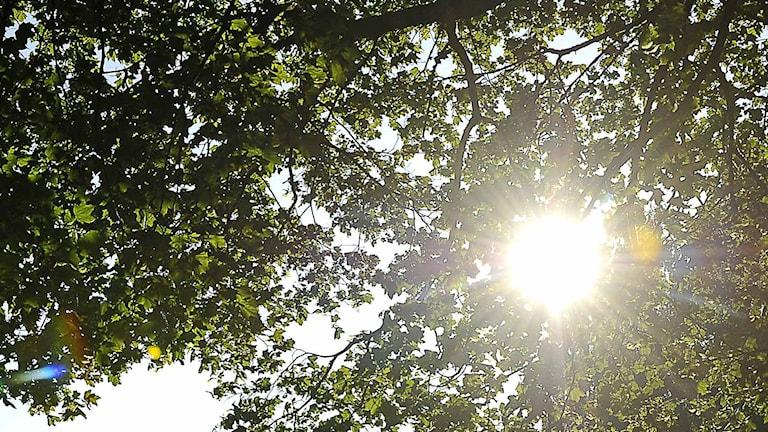Solen skiner genom en trädkrona.