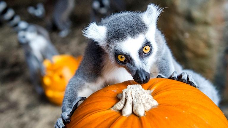 Lemur. Foto: David Tanecek/TT