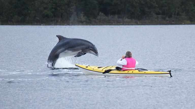 Delfin. Foto: Tony Landerman
