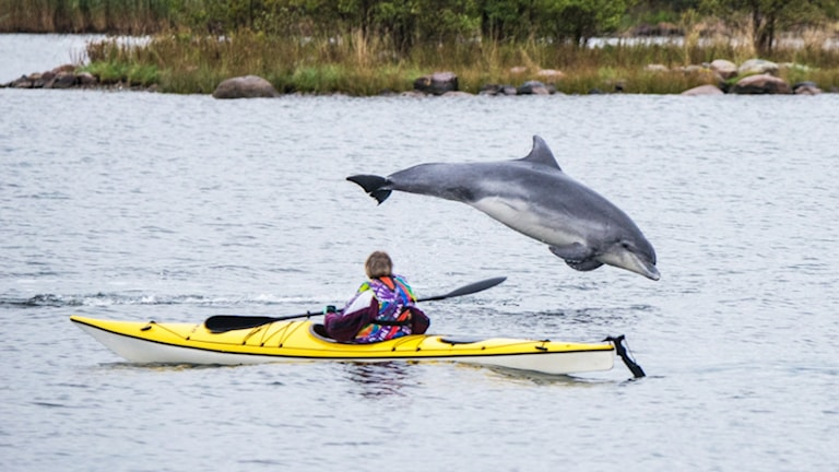 Delfin. Lyssnarbild. Foto: Bertil Johansson