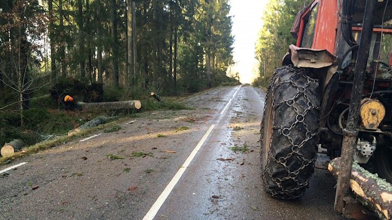 Fällda träd vid väg. Foto: Peter Bressler/Sveriges Radio