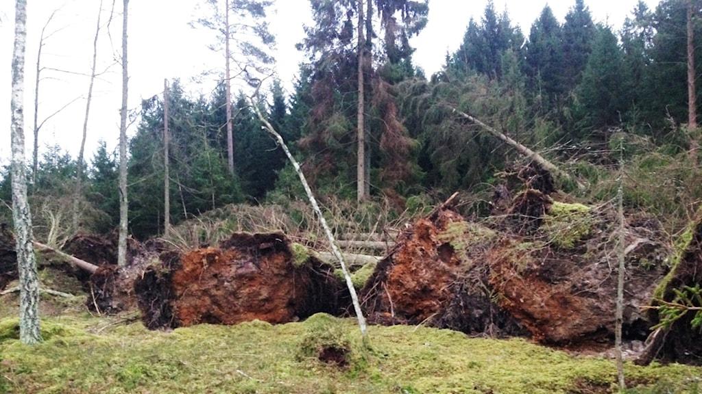Omkullvräkta träd. Foto: Marcus Johannesson/Sveriges Radio