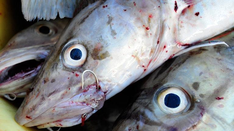 Torskar, torskfiske.