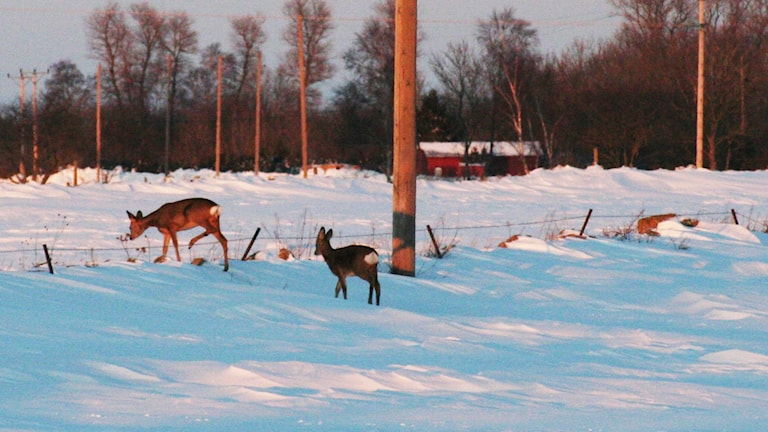 Rådjur på vintern Foto: Nick Näslund/Sveriges Radio