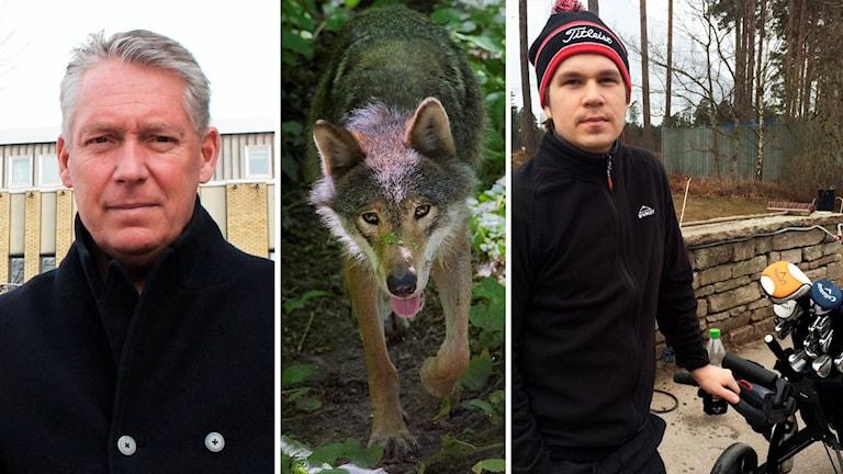 Ulf Karlsson, en varg och Andreas Peltonen