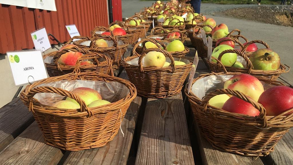 Massor av olika äppelsorter i korgar. Foto: Oskar Mattisson/Sveriges Radio.