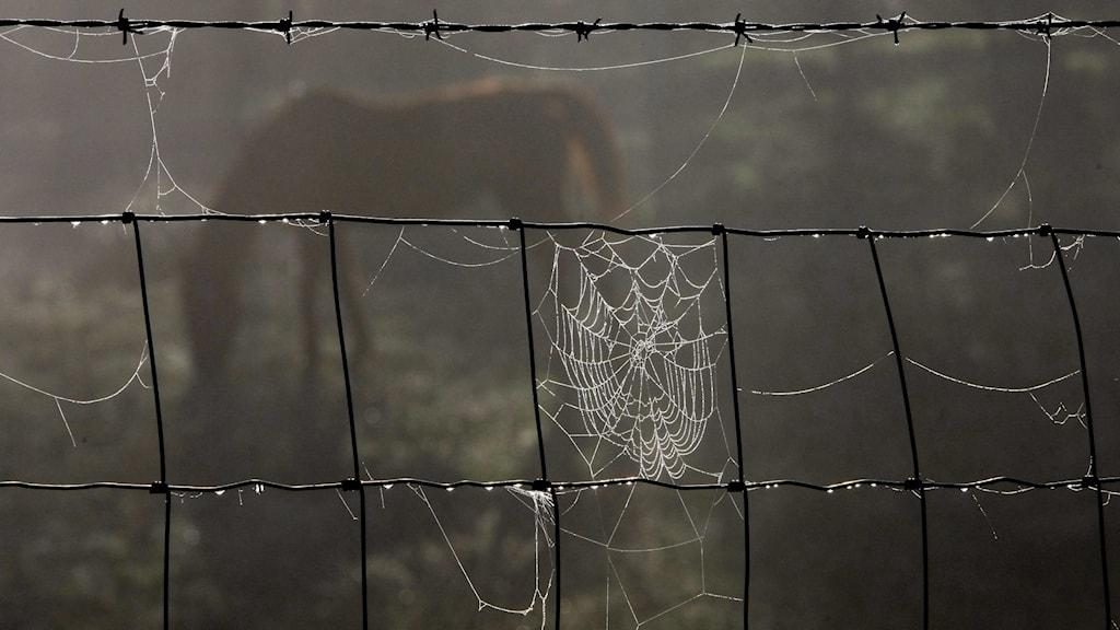 En häst skymtar i bakgrunden, i förgrunden är det ett staket med spindelväv och dagg.