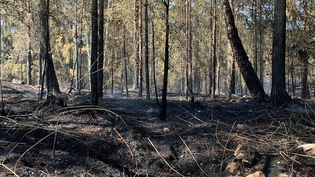 Svart mark och svarta träd där branden dragit förbi.